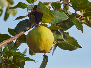 A quince on a tree, harvest season, with blue sky in the background