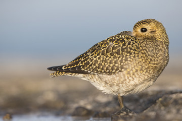 An European golden plover (Pluvialis apricaria) resting in the morning sun on the Island Heligoland- With golden coloured feathers
