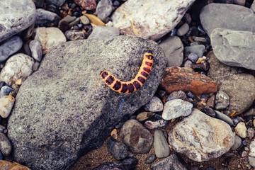 Red caterpillar Cossus Cossus on gray stones