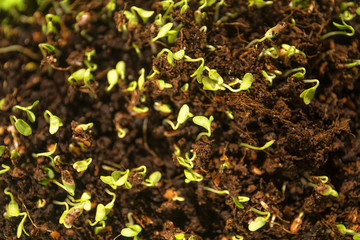 young sprouted grains, sprouts, microgrin in the ground