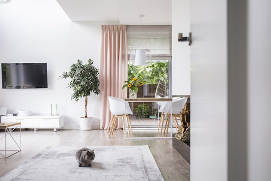 Cat on a carpet in a living room and dining room interior of a modern house. Real photo