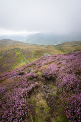 Purple heather foreground at great langdale England with fells mountains and tent in background