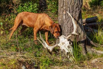 Hund luktar på ett kranium med horn från älg