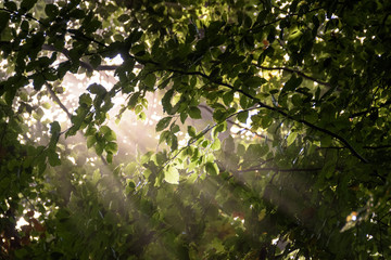 Sunlight shining through the dense leafs of the forest roof