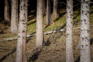 Close up pine tree forest of the tree trunks beautiful composition