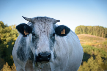 Big cow with horns looking stright into the camera in autumn landscape