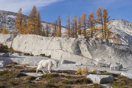 A lone mountain goat roams through the Enchantments in fall