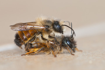 Red mason bees (Osmia bicornis) mating, the smaller male solitary bee sits on top.
