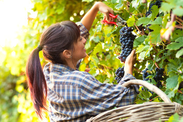 Happy smiling young woman picking bunches of grapes Fototapete
