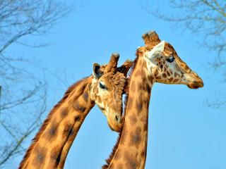 coppia di giraffe in primo piano