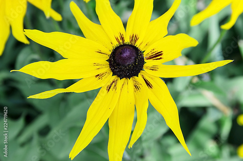 Beautiful large yellow flowers with pointed petals stock photo and beautiful large yellow flowers with pointed petals mightylinksfo