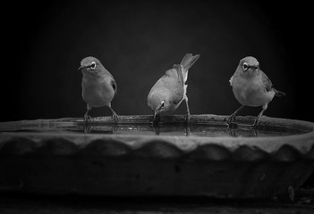 Bird pictures in black and white.(Zosterops palpebrosus)