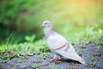 Dove free walking along street
