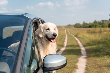 cute golden retriever dog looking out car window in field