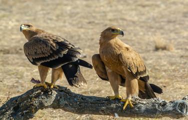 spanish imperial eagle Aquila adalberti