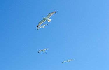 White seagull flying over Saronic Gulf in Greece