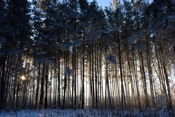 snow covered pine trees in winter forest. winter landscape.