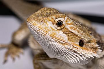 pogona vitticeps lizard