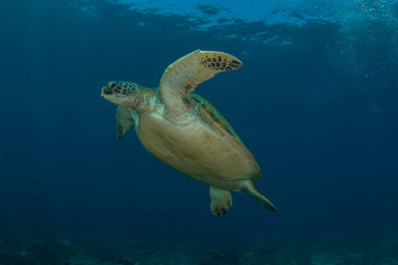 Green sea turtle, Chelonia Mydas.