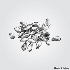 Hand drawn sesame. Herbs and Spices in sketch style, vector illustrator.