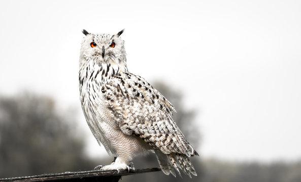 The snowy owl side portrait