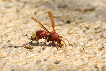 Dangerous and poisonous Oriental hornet, Vespa orientalis