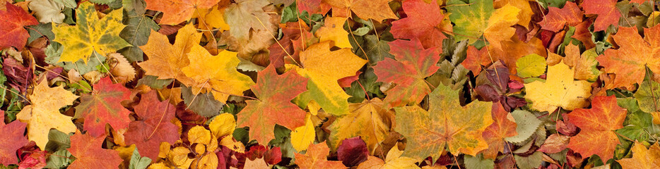 Wall Mural - Colorful seasonal autumn background pattern, Vibrant carpet of fallen forest leaves.