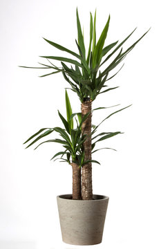 Yucca tree in pots. Common yucca, filamentosa, aloifolia, aloe yucca, dagger plant. House plant isolated on white background
