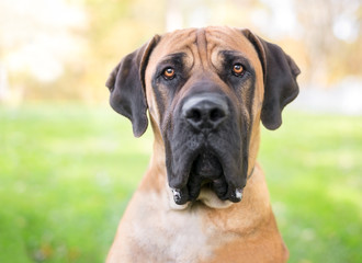 A Boerboel dog with a serious expression outdoors Wall mural
