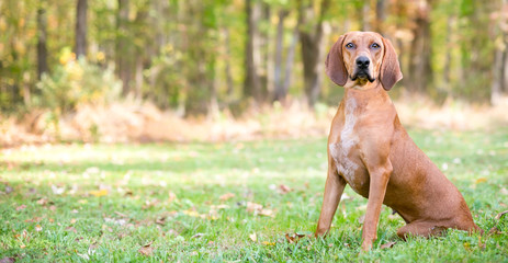 Panoramic view of a Redbone Coonhound dog sitting outdoors