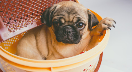 Pug puppy sitting in picnic basket, dog isolated on white