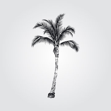 Hand Drawn Coconut Palm tree Sketch Symbol isolated on white background. Vector tropical elements art highly detailed In Sketch Style. Vintage vector illustration.