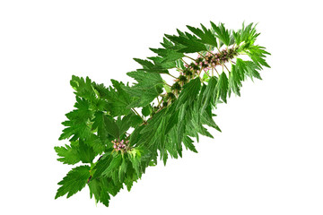 Motherwort Medicinal Herb Plant. Isolated on White Background. Also Leonurus Cardiaca, Throw-Wort, Lion's Ear or Tail.