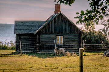 Cozy, wooden house at sunset. A little lamb near the house. The sea in the background. Estonia, the Baltic States, Open air museum in Viimsi, Tallinn