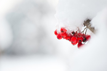 Red rowan berries covered with white snow.