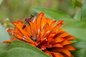 Orange Zinnia and Wasp