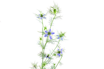 Isolated Nigella Sativa.