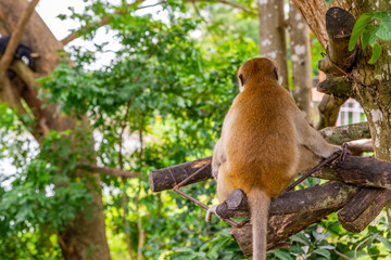 Back side of monkey on tree in an open zoo of Thailand