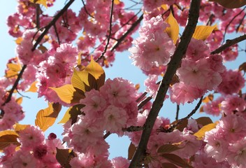 Cherry blossom tree with sunlight on the leaves