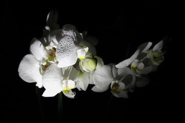 white Orchid flowers on black background