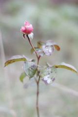 Rose under the first snow autumn time on backround