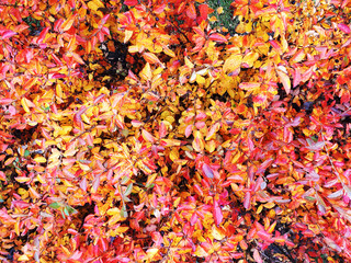 Photo background of autumn red-orange leaves.