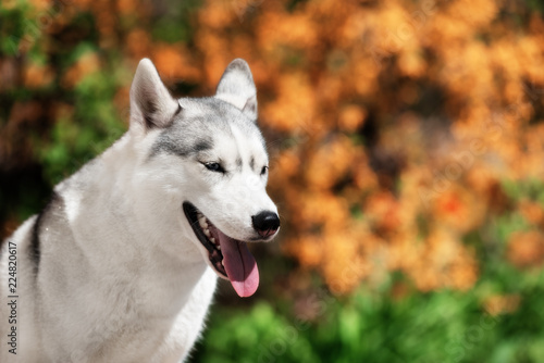 A Young Siberian Husky Is Sitting Near Orange Flowers And Looking