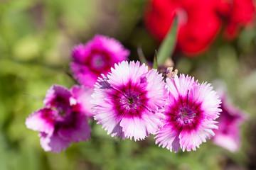 Flowers of garden perennial carnations