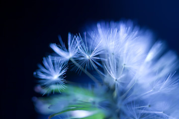 art photo of dandelion seeds close-up on black background