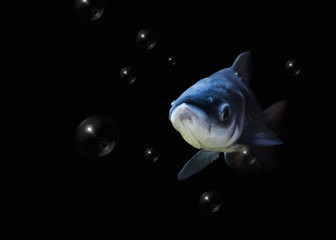 Giant carp on dark background with bubbles.