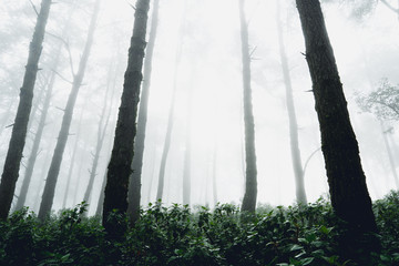 Fog and trees forest in the morning man in forest
