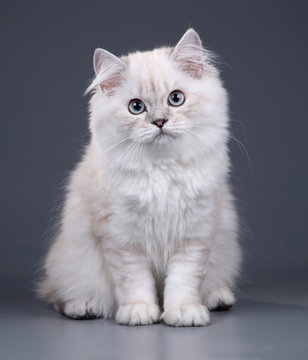 Cute fluffy British cat on a gray background