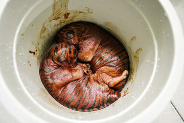 Two Sumatran tiger fetuses who died with their mother are seen inside a bucket before being buried in Pekanbaru