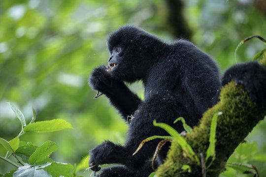 Black crested gibbon eating squirrel